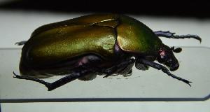 (Protaetia cuprea cuprea - BC-PNEF-PSFOR1134)  @11 [ ] Copyright (2017) Rodolphe Rougerie Museum National d'Histoire Naturelle