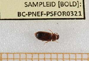(Eulagius - BC-PNEF-PSFOR0321)  @12 [ ] Copyright (2013) Thierry Noblecourt Laboratoire National d'Entomologie Forestière, Quillan, France