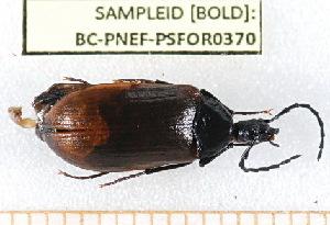 ( - BC-PNEF-PSFOR0370)  @12 [ ] Copyright (2013) Thierry Noblecourt Laboratoire National d'Entomologie Forestière, Quillan, France