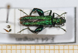 (Oedemeridae - BC-PNEF-PSFOR0540)  @16 [ ] Copyright (2013) Thierry Noblecourt Laboratoire National d'Entomologie Forestière, Quillan, France