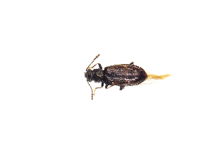 (Phloeostichidae - BC-PASSIFOR0124)  @11 [ ] Copyright (2014) Benoit Nusillard IRSTEA, Nogent Sur Vernisson