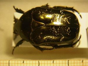 (Protaetia lugubris - BC-PNEF-PSFOR0216)  @12 [ ] Copyright (2013) Thierry Noblecourt Laboratoire National d'Entomologie Forestière, Quillan, France