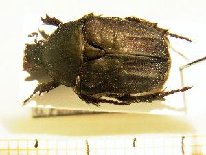 (Protaetia morio - BC-PNEF-PSFOR0217)  @11 [ ] Copyright (2013) Thierry Noblecourt Laboratoire National d'Entomologie Forestière, Quillan, France
