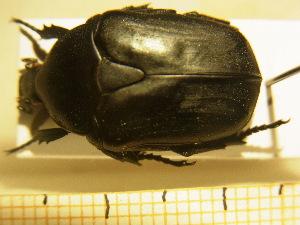 (Protaetia opaca - BC-PNEF-PSFOR0218)  @11 [ ] Copyright (2013) Thierry Noblecourt Laboratoire National d'Entomologie Forestière, Quillan, France