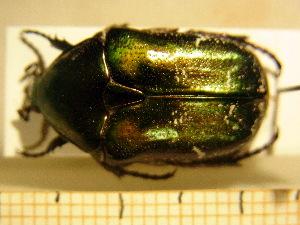 (Protaetia cuprea - BC-PNEF-PSFOR0221)  @12 [ ] Copyright (2013) Thierry Noblecourt Laboratoire National d'Entomologie Forestière, Quillan, France
