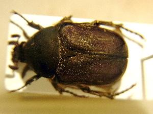 (Protaetia oblonga - BC-PNEF-PSFOR0224)  @11 [ ] Copyright (2013) Thierry Noblecourt Laboratoire National d'Entomologie Forestière, Quillan, France