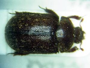 (Aesalus - BC-PNEF-PSFOR0227)  @11 [ ] Copyright (2013) Thierry Noblecourt Laboratoire National d'Entomologie Forestière, Quillan, France