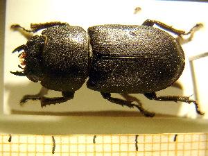 ( - BC-PNEF-PSFOR0228)  @13 [ ] Copyright (2013) Thierry Noblecourt Laboratoire National d'Entomologie Forestière, Quillan, France