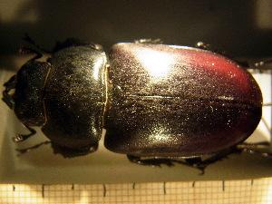 (Lucanus cervus fabiani - BC-PNEF-PSFOR0229)  @13 [ ] Copyright (2013) Thierry Noblecourt Laboratoire National d'Entomologie Forestière, Quillan, France