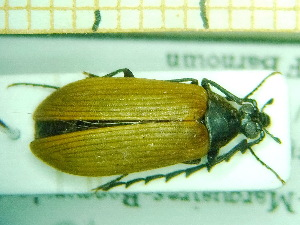 ( - BC-PNEF-PSFOR0171)  @14 [ ] Copyright (2013) Thierry Noblecourt Laboratoire National d'Entomologie Forestière, Quillan, France