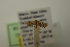 (Placodominae - BC TS Psy 0024)  @14 [ ] CreativeCommons - Attribution Non-Commercial (2011) Thomas Sobczyk Thomas Sobczyk