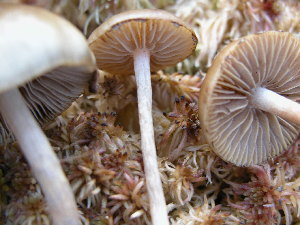 (Agrocybe sp - 157368)  @11 [ ] CreativeCommons - Attribution Non-Commercial Share-Alike (2010) Mycology Division, Royal Ontario Museum Royal Ontario Museum