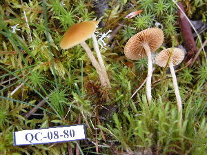 (Galerina sp - 157387)  @11 [ ] CreativeCommons - Attribution Non-Commercial Share-Alike (2010) Mycology Division, Royal Ontario Museum Royal Ontario Museum