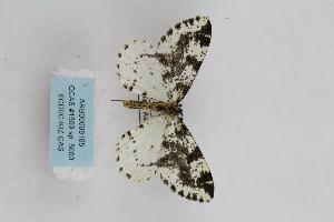 (Abraxas sp. 5000 - ARB00009165)  @11 [ ] Copyright (2012) SCDBC-KIZ-CAS, Imaging group Kunming Institute of Zoology, CAS
