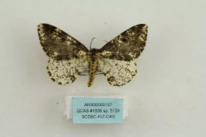 (Abraxas sp. 5124 - ARB00009197)  @11 [ ] Copyright  SCDBC-KIZ-CAS, Imaging group Kunming Institute of Zoology, CAS