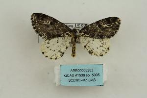 (Abraxas sp. 5005 - ARB00009203)  @11 [ ] Copyright  SCDBC-KIZ-CAS, Imaging group Kunming Institute of Zoology, CAS