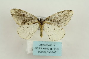 (Abraxas sp. 5427 - ARB00009211)  @11 [ ] Copyright  SCDBC-KIZ-CAS, Imaging group Kunming Institute of Zoology, CAS