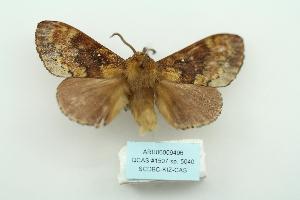(Dendrolimus monticola - ARB00009496)  @11 [ ] Copyright  SCDBC-KIZ-CAS, Imaging group Kunming Institute of Zoology, CAS