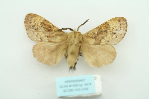 (Dendrolimus monticola - ARB00009497)  @11 [ ] Copyright  SCDBC-KIZ-CAS, Imaging group Kunming Institute of Zoology, CAS