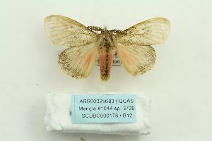 (Lymantria liedgensi - ARB00025683)  @11 [ ] Copyright  SCDBC-KIZ-CAS, Imaging group Kunming Institute of Zoology, CAS