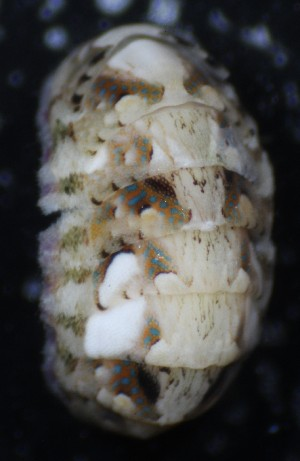 (Chiton sp. AETG2 - ECOSUR-OH-M0039)  @11 [ ] CreativeCommons – Attribution Non-Commercial (by-nc) (2016) Unspecified Unspecified