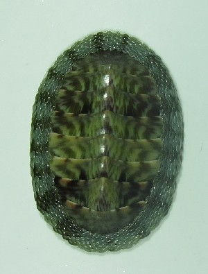 (Chiton marmoratus - ECOSUR-OH-M0078)  @11 [ ] CreativeCommons – Attribution Non-Commercial (by-nc) (2016) Unspecified Unspecified