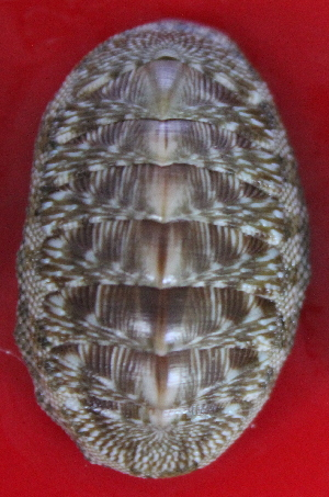 (Chiton tuberculatus - ECOSUR-OH-M0129)  @11 [ ] CreativeCommons – Attribution Non-Commercial (by-nc) (2017) Unspecified Unspecified