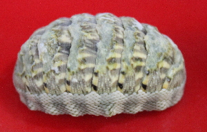 (Chiton squamosus - ECOSUR-OH-M0187)  @11 [ ] CreativeCommons – Attribution Non-Commercial (by-nc) (2017) Unspecified Unspecified