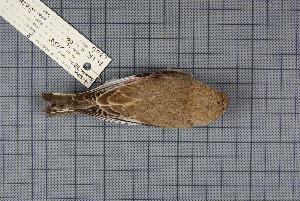 (Rhodospiza - MTD C 59919)  @13 [ ] Copyright (2013) Patrick Strutzenberger Senckenberg Natural History Collections Dresden