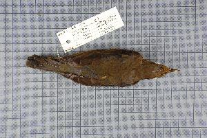 (Turdus hortulorum - MAR2336)  @13 [ ] Copyright (2013) Patrick Strutzenberger Senckenberg Natural History Collections Dresden