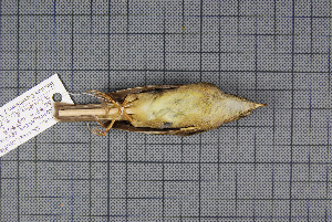 (Phylloscopus armandii - MAR4904)  @13 [ ] Copyright (2013) Patrick Strutzenberger Senckenberg Natural History Collections Dresden
