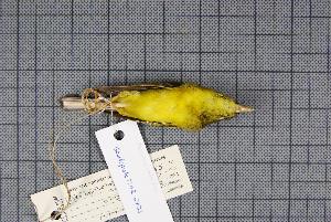 (Seicercus - MAR5733)  @13 [ ] Copyright (2013) Patrick Strutzenberger Senckenberg Natural History Collections Dresden