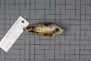 (Phylloscopus yunnanensis - MAR738)  @11 [ ] Copyright (2013) Patrick Strutzenberger Senckenberg Natural History Collections Dresden