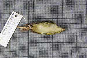 (Phylloscopus davisoni - MAR854)  @13 [ ] Copyright (2013) Patrick Strutzenberger Senckenberg Natural History Collections Dresden