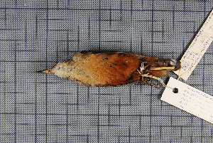 (Sitta cashmirensis - MTD C 58581)  @11 [ ] Copyright (2014) Senckenberg Natural History Collections Dresden Senckenberg Natural History Collections Dresden