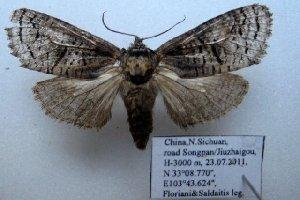 (Catoptinae - 10349-210711-CH)  @14 [ ] Copyright (2011) Aidas Saldaitis Vilinus Ecological Institute