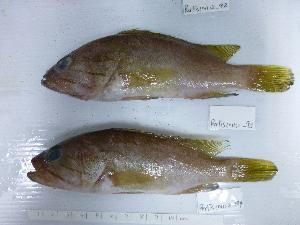 (Epinephelus poecilonotus - E.poecilonotus.-94 Perlis)  @14 [ ] Copyright (2012) Rajiv USM