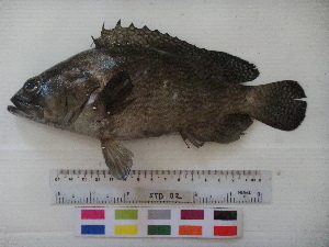 (Epinephelus quoyanus - E.quoyanus.-STD2)  @14 [ ] Copyright (2012) Rajiv USM