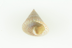 (Calliostoma variegatum - CCDB22765-D02)  @11 [ ] CreativeCommons - Attribution Non-Commercial Share-Alike (2015) Melissa Frey Royal BC Museum