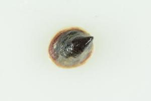 (Crepidula adunca - CCDB22765-G03)  @11 [ ] CreativeCommons Attribution NonCommercial ShareAlike (2015) Melissa Frey Royal BC Museum