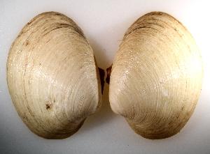 (Vesicomya stearnsii - CCDB22172-F12)  @11 [ ] CreativeCommons - Attribution Non-Commercial Share-Alike (2014) Kara Layton Biodiversity Institute of Ontario
