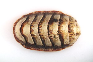 (Ischnochitonidae - CCDB22175-H02)  @14 [ ] CreativeCommons - Attribution Non-Commercial Share-Alike (2014) Kara Layton Biodiversity Institute of Ontario