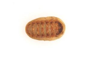 (Lepidopleuridae - CCDB22176-A05)  @13 [ ] CreativeCommons - Attribution Non-Commercial Share-Alike (2014) Kara Layton Biodiversity Institute of Ontario