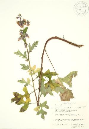 (Prenanthes - RBG 180)  @11 [ ] Copyright (2009) Unspecified University of Guelph BIO Herbarium