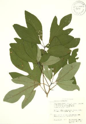 (Sassafras - RBG 157)  @11 [ ] Copyright (2009) Steven Newmaster University of Guelph BIO Herbarium