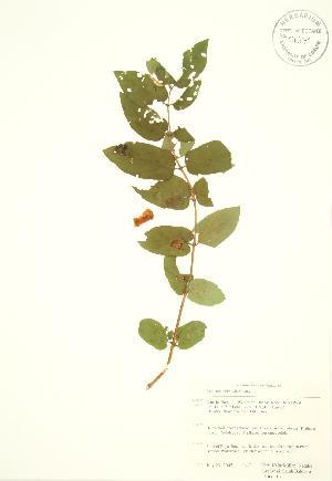 (Lonicera morrowii - RBG 116)  @11 [ ] Copyright (2009) Steven Newmaster University of Guelph BIO Herbarium