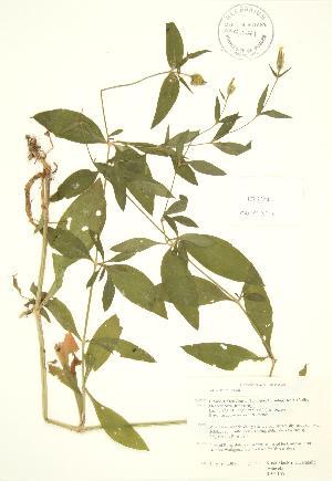 (Silene latifolia - RBG 105)  @11 [ ] Copyright (2009) Steven Newmaster University of Guelph BIO Herbarium