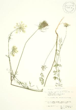 (Daucus - RBG 171)  @11 [ ] Copyright (2009) Unspecified University of Guelph BIO Herbarium