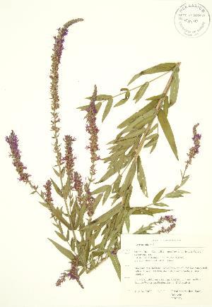 ( - RBG 131)  @11 [ ] Copyright (2009) Steven Newmaster University of Guelph BIO Herbarium