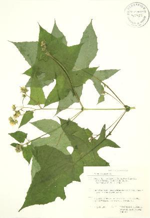 (Polymnia - RBG 121)  @11 [ ] Copyright (2009) Steven Newmaster University of Guelph BIO Herbarium